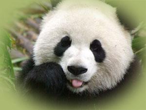 Paylaşılamayan pandalar