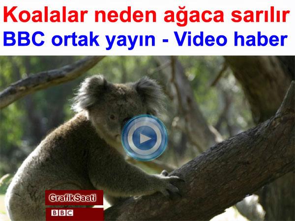Koalalar neden hep ağaçlara sarılır BBC ortak yayın video haber